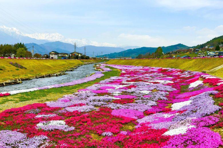 農具川河川敷の芝桜