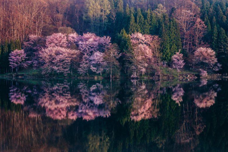 オオヤマザクラで有名な中綱湖